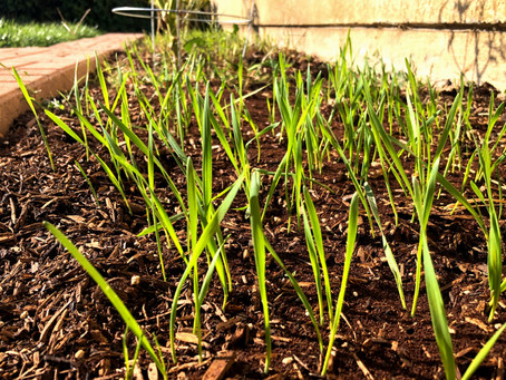 Growing Grains: Starting to Sprout
