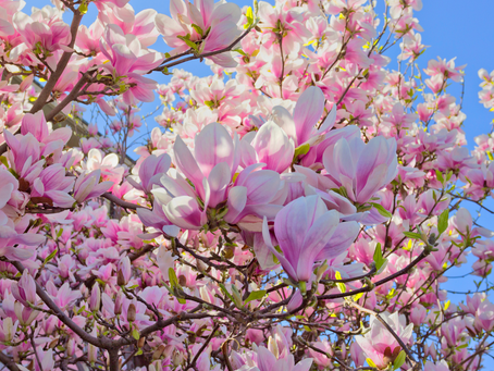 Sweet Magnolia and Why You Need to Eat this Flower: Vinegar and Syrup Recipe Too!