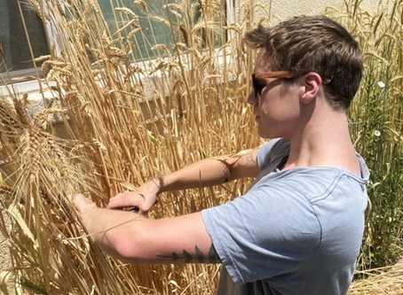 Growing Grains: Harvest At Last