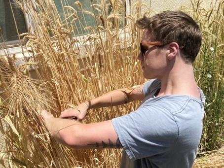 Growing Grains: Harvest At Last