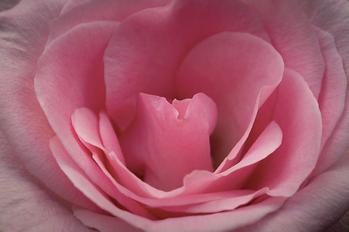 8x12 Wall Print- Pink Rose