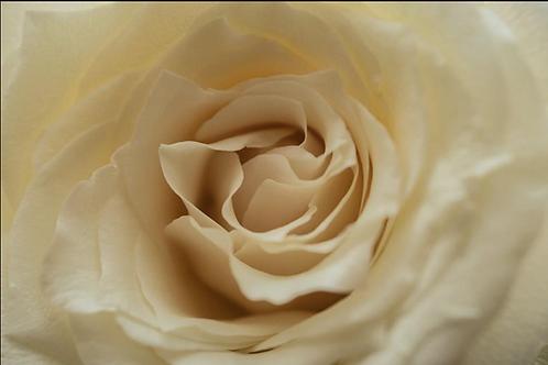 12x18 Wall Print- Creamy Rose