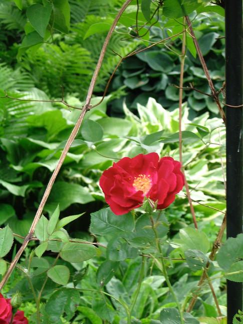 Rose framed by hostas and ferns
