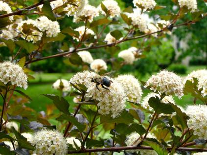 Bumblebee on Ninebark