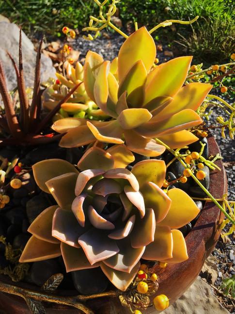 Lovely Succulents brighten the Fall Garden