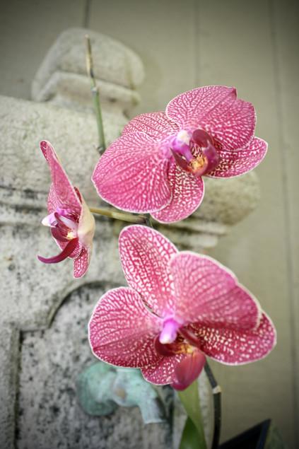Phanlanopsis Orchid