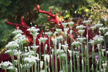 Garlic Chive against Amaranth