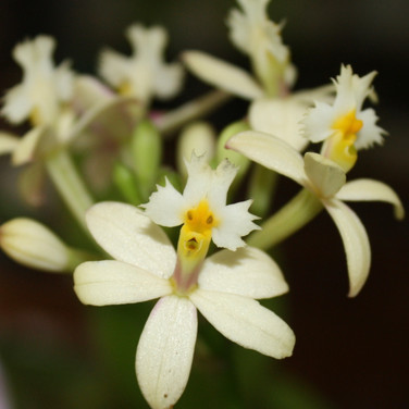 Wedding Valley Orchid