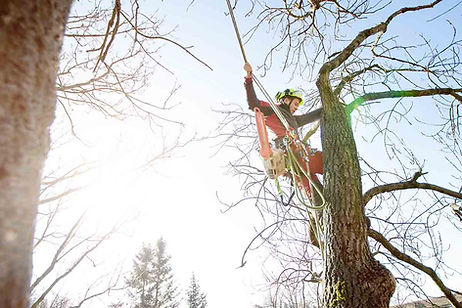 professional-arborist-removing-dead-tree