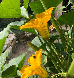 fleur de courgette.jpeg
