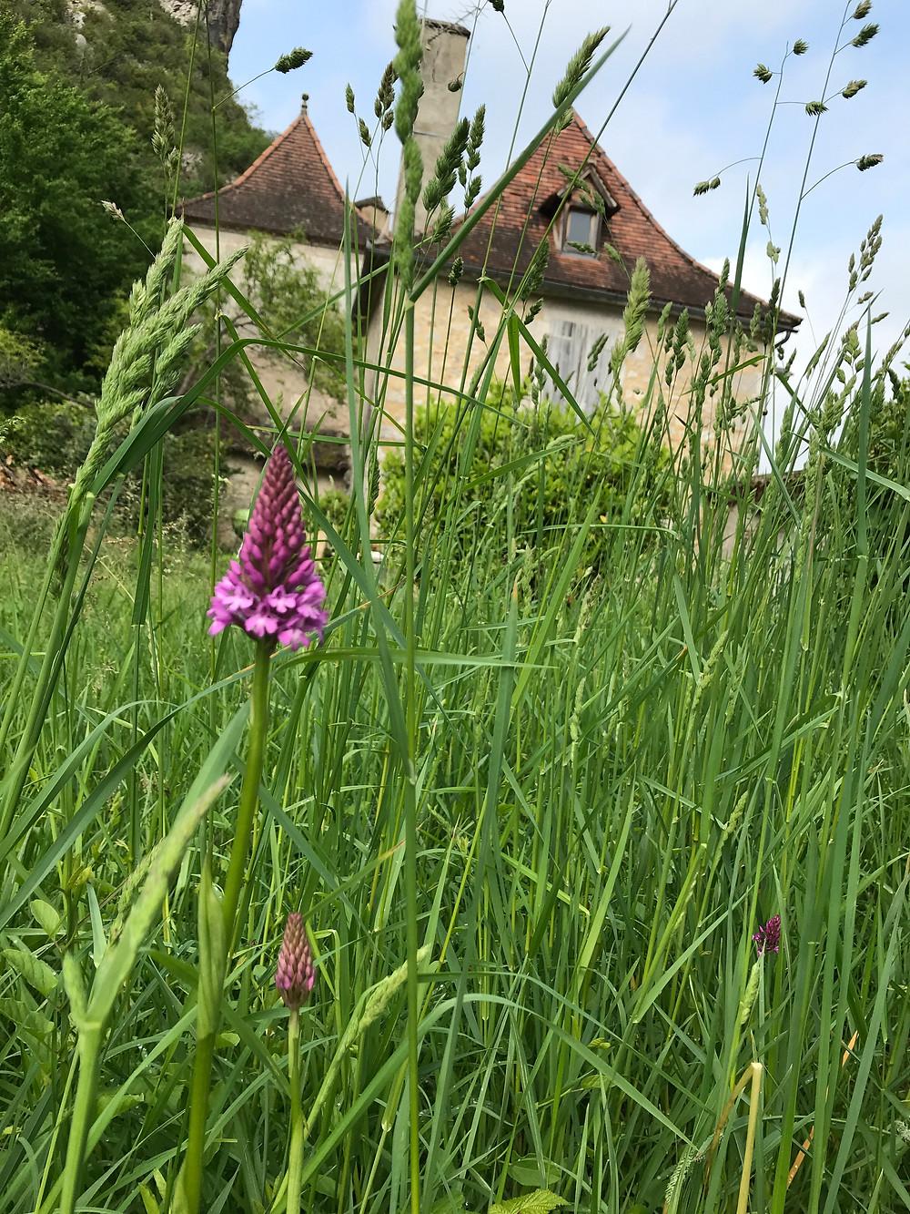 Orchidée sauvage du Quercy