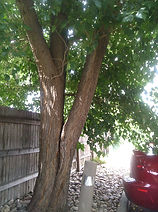 Littleton, Colorado | Included bark | Trimming/Pruning and Deadwooding