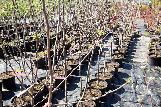 Potted trees in plant nursery