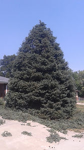 Spruce tree trimming cost