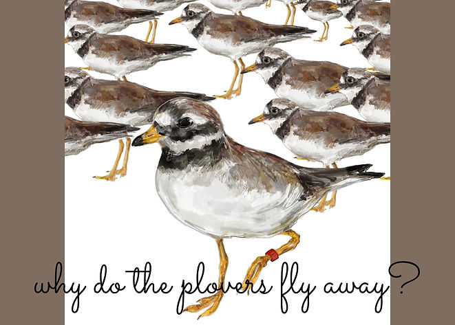 why do the plovers fly away?.jpg