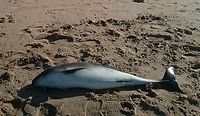 porpoise-stranded-on-lincolnshire-beach-