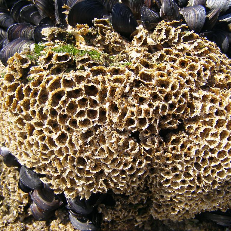 Honeycomb worm reefs