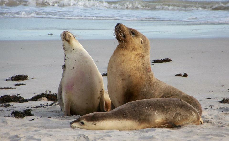 SeaLions _Kangaroo Island.jpg