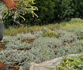 Sideritis Mountain Tea Crop