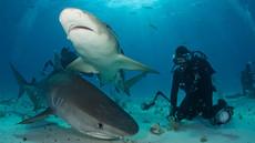 A la rencontre des requins-tigres