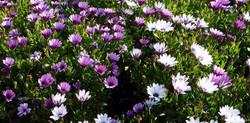fleurs-printemps-serre-albert-aiguillon