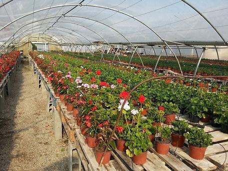 Reppiquage de fleurs dans les serres albert à aiguillon lot garonne