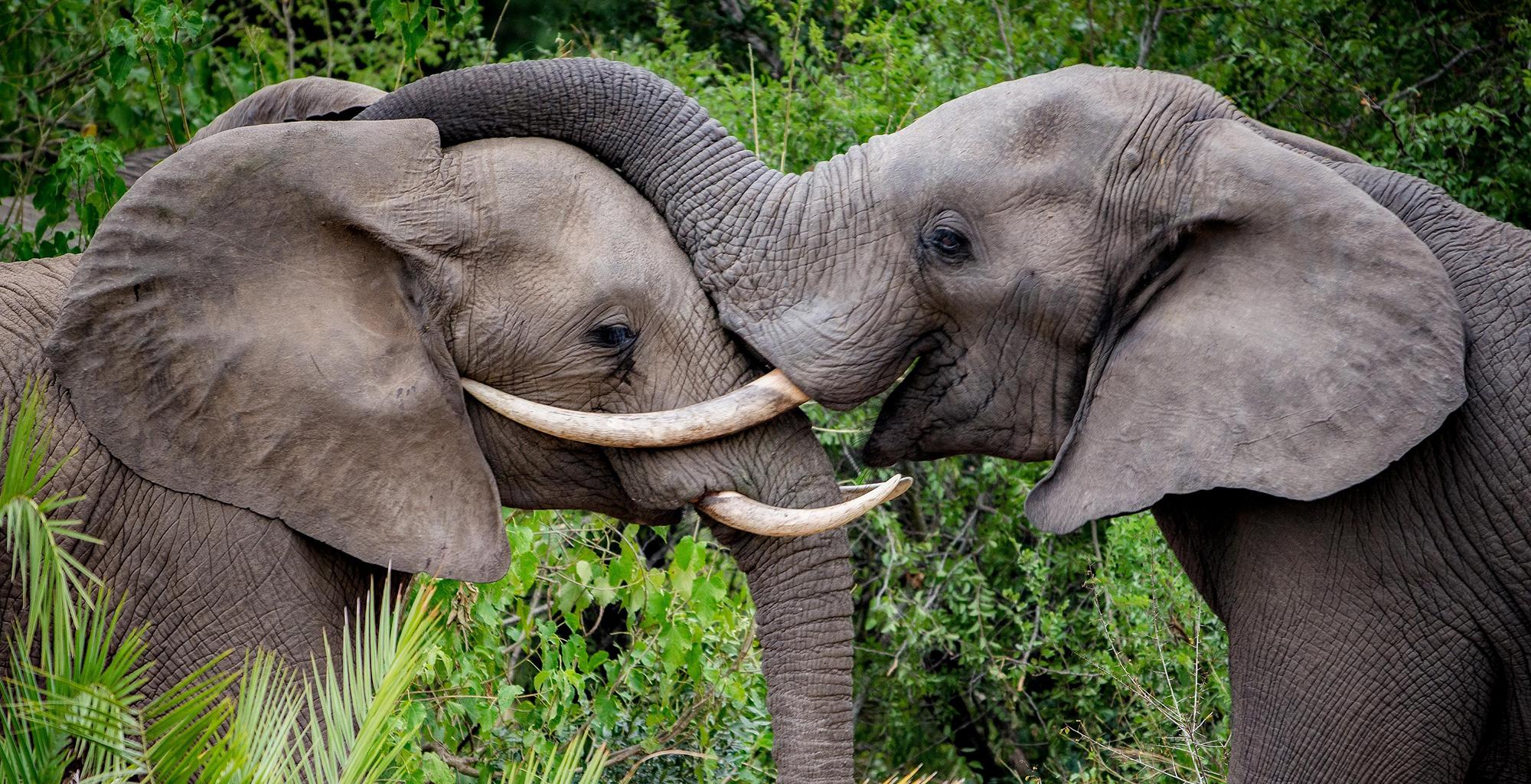 Africa cropkirkmans-kamp-elephant