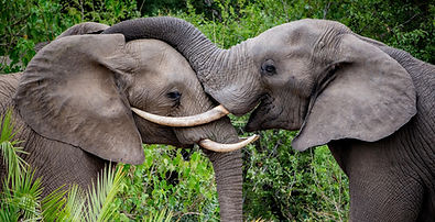 Africa cropkirkmans-kamp-elephant.jpg