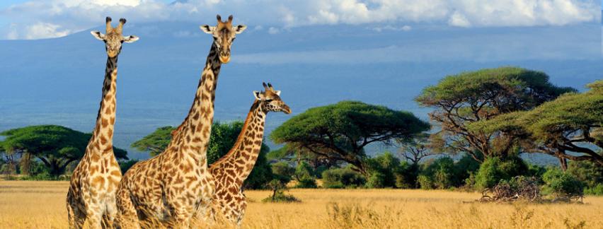 Giraffes Africa Banner.png