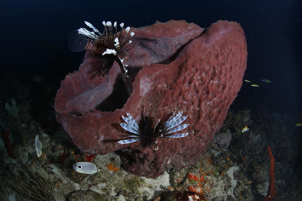 Lionfish have found a home in Cuban waters
