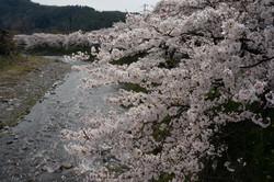 Sakura-Namiki 高野川