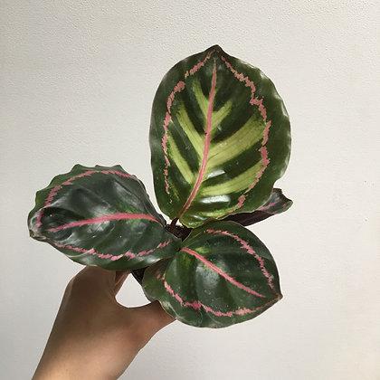 Calathea Rosea Picta D6cm