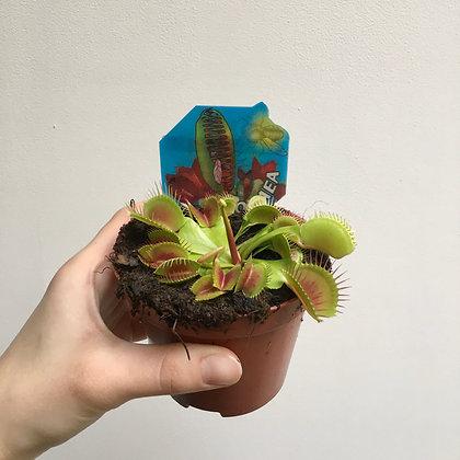 Dionaea 'Venus Flytrap' D9