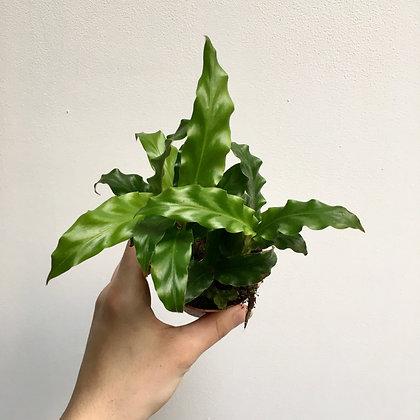 Calathea Rufibarba (green) D6