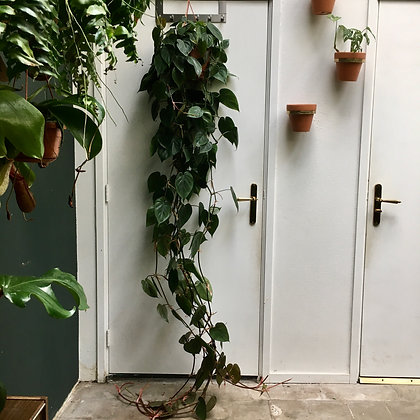 Philodendron Scandens D20x200cm