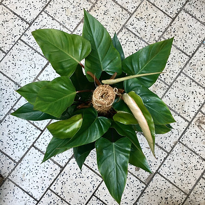Philodendron Red Emerald D19x80cm