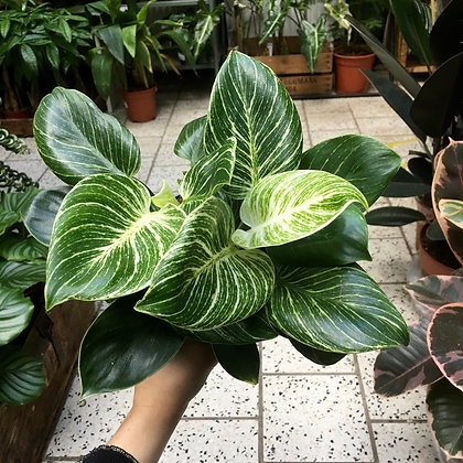 Philodendron 'White Wave' D14