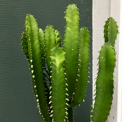 Euphorbia Triangularis D17