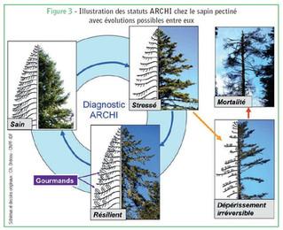 Dépérissement du sapin pectiné : influences du diamètre, du gui et des conditions locales