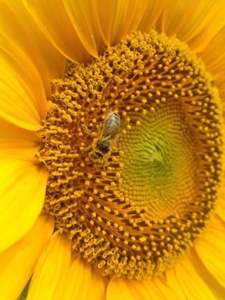 Rôle des céréales à paille dans le potentiel de pollinisation des paysages des coteaux de Gascogne