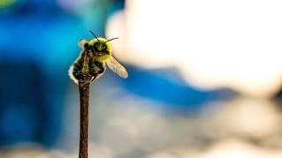 Interview de Clélia Sirami sur les pollinisateurs