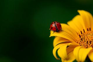 Estimation des ressources florales et des populations d'insectes pollinisateurs en milieu agricole :