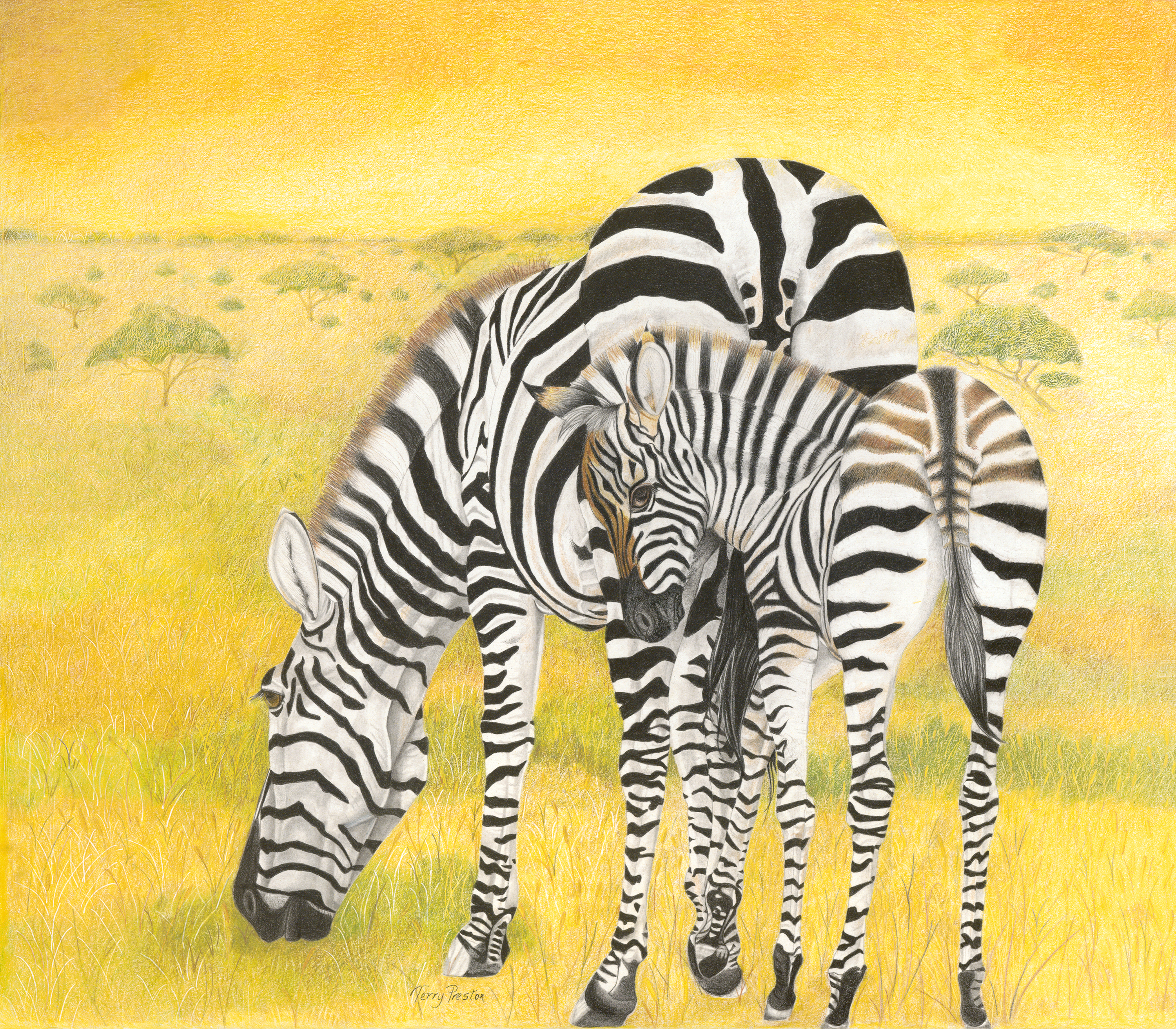 Plains Zebras (female & foal)
