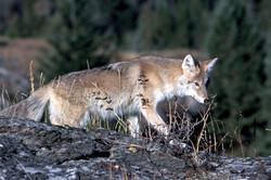 coyote-718117_1280_edited_edited