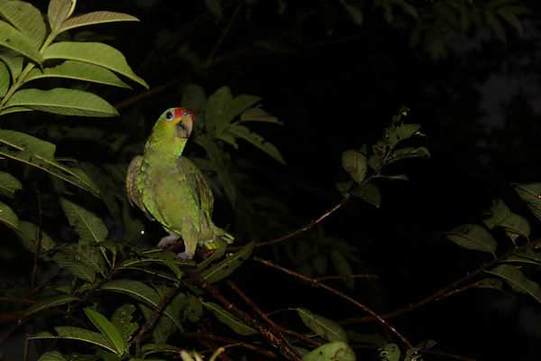 Nicaragua Raleigh ICS, Loro, Parrot