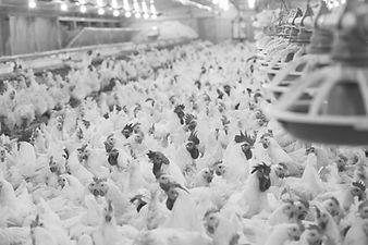 Chicken%20Web%20Banner_edited.jpg