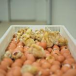 Pollos Naciendo Incubatica Costa Rica