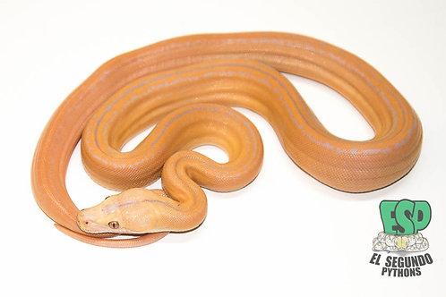 Purple Sunfire Tiger Goldenchild- Female
