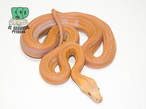 Lavender Tiger Goldenchild- Male