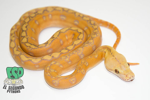 Purple Phantom Sunfire - Male